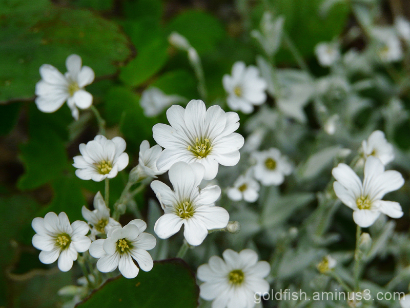 Snow In Summer - Cerastium Tomentosum