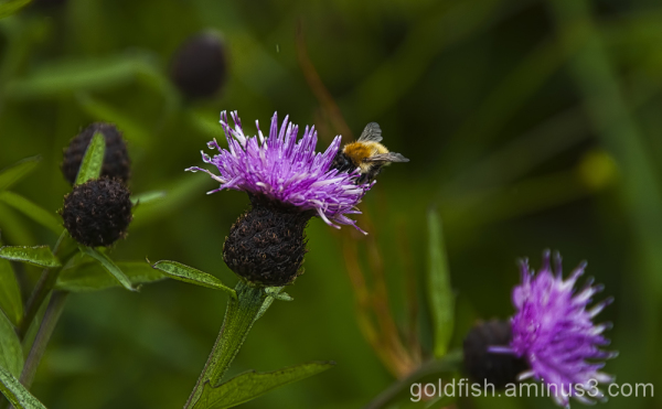 Lesser Knapweed - Centaurea