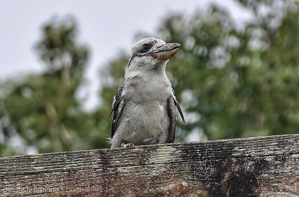 Laughing Kookaburra - Dacelo Novaeguineae 1/4