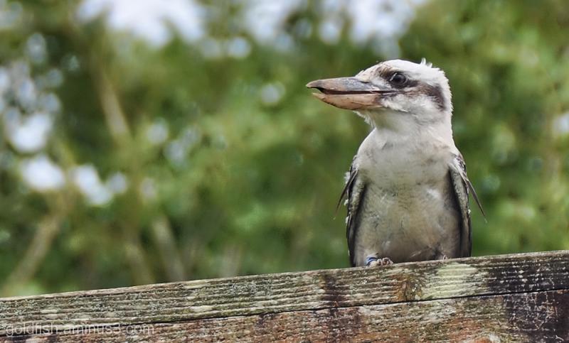 Laughing Kookaburra - Dacelo Novaeguineae 3/4