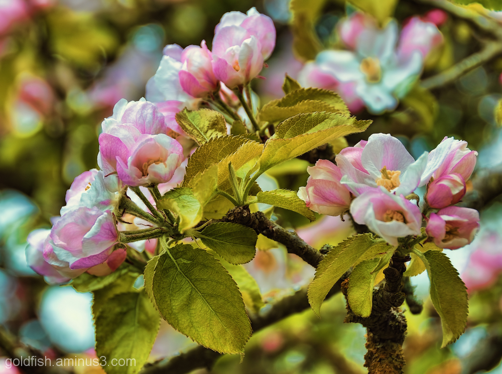 Apple Blossom 1/3