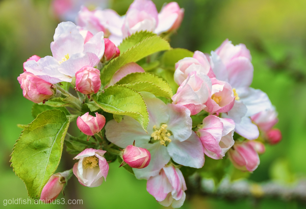 Apple Blossom 2/3