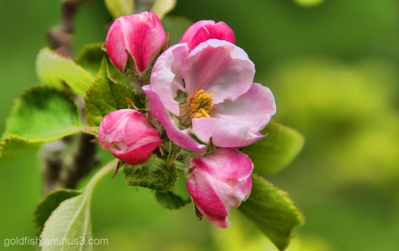 Apple Blossom 3/3