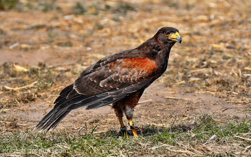 Harris Hawk - Parabuteo Unicinctus 2/3