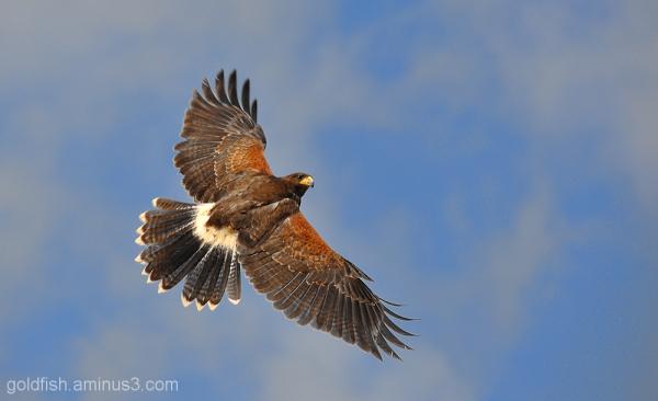 Harris Hawk - Parabuteo Unicinctus 3/3
