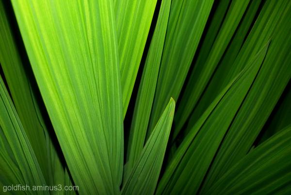 Green Montbretia