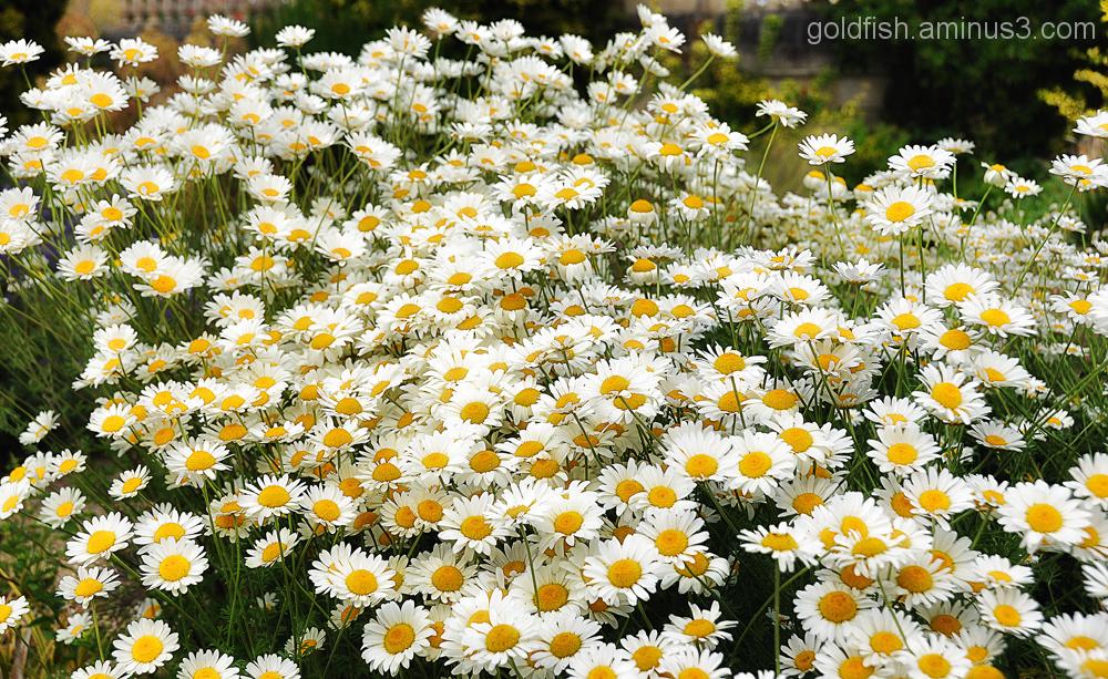 Oxeye Daisy - Leucanthemum Vulgare 1/3