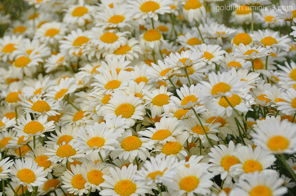 Oxeye Daisy - Leucanthemum Vulgare 2/3