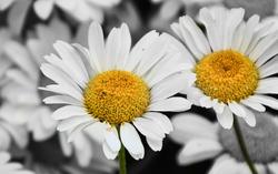 Oxeye Daisy - Leucanthemum Vulgare 3/3