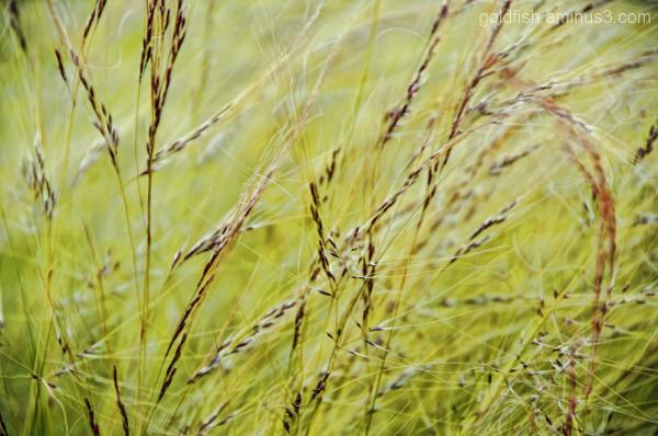 Pheasant Grass - Stipa Tenuifolia 1/3