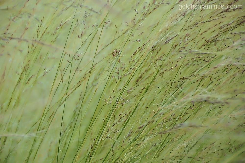 Pheasant Grass - Stipa Tenuifolia 2/3