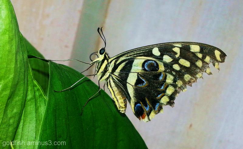 Flutter-by Butter