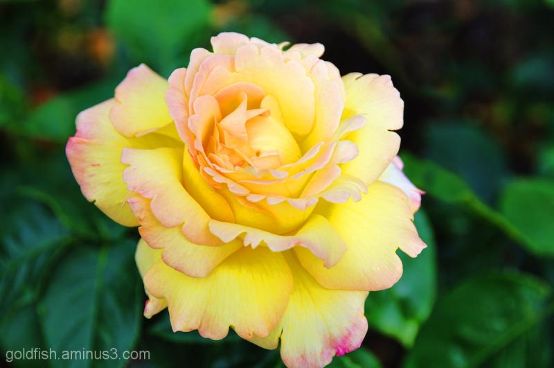 The Peace Rose - Rosa