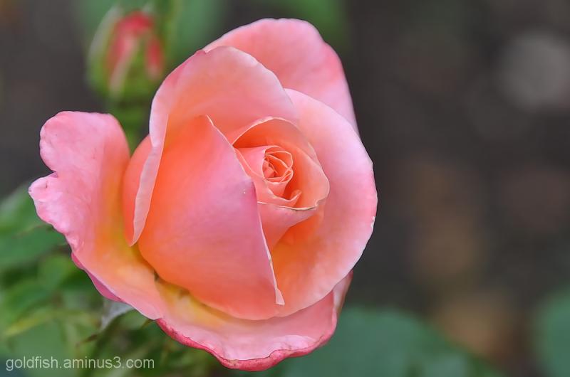 Silver Jubilee - Rosa