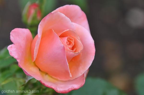 Silver Jubilee - Rosa 'Silver Jubilee'