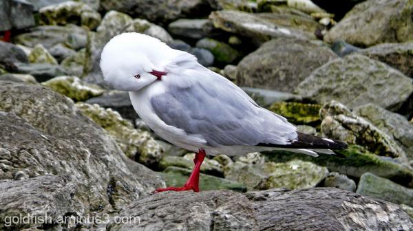 Red Billed Gull (Chroicocephalus Scopulinus)