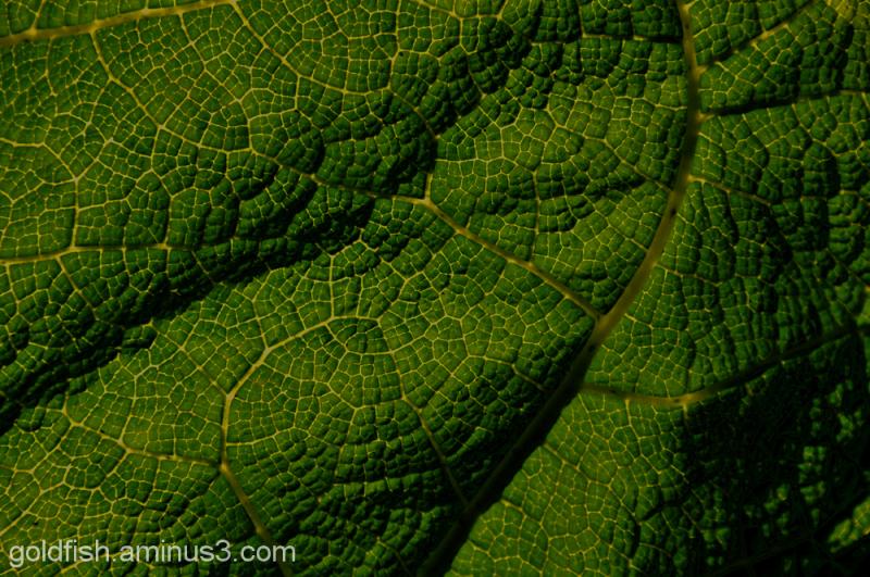 Gunnera/Gunneraceae