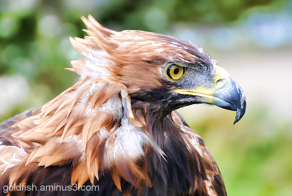 Golden Eagle - Aquila Chrysaetos 2/6