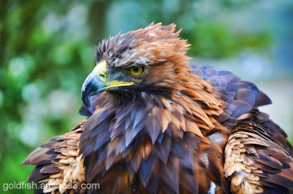 Golden Eagle - Aquila Chrysaetos 3/6