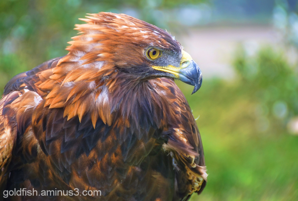 Golden Eagle - Aquila Chrysaetos 4/6