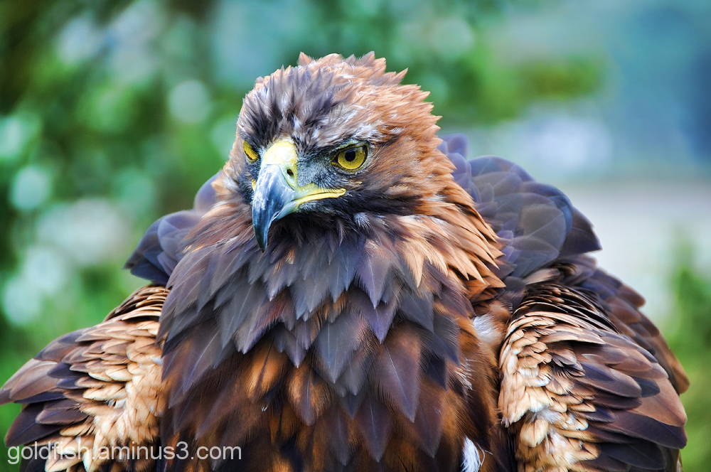 Golden Eagle - Aquila Chrysaetos 5/6