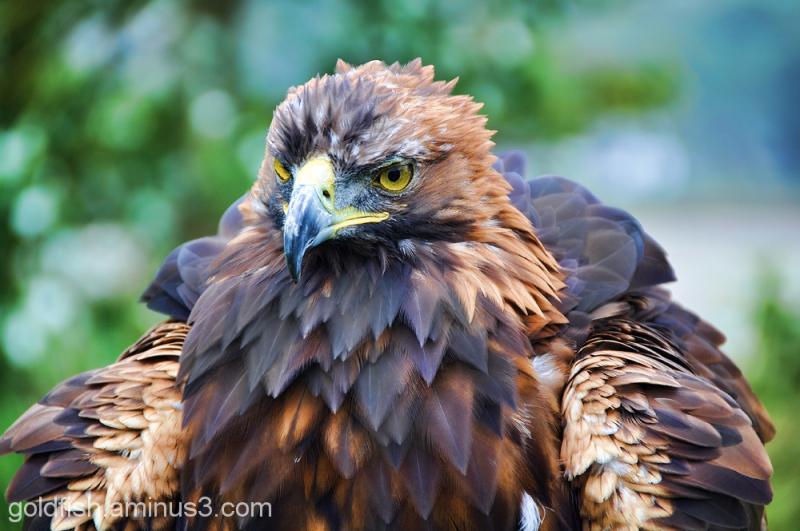 Golden Eagle - Aquila Chrysaetos 5/6
