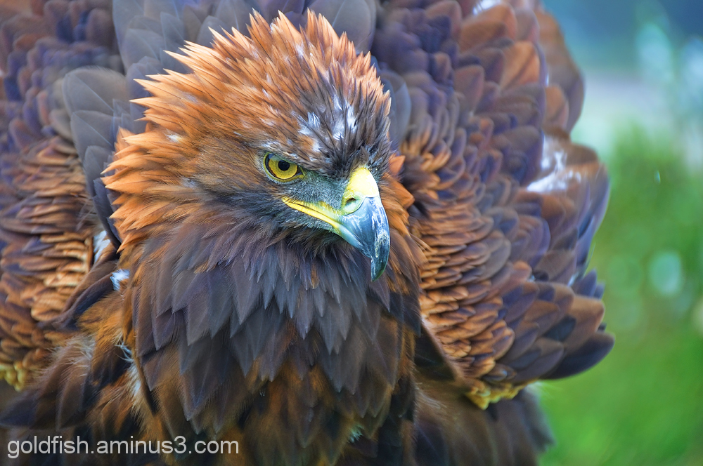 Golden Eagle - Aquila Chrysaetos 6/6