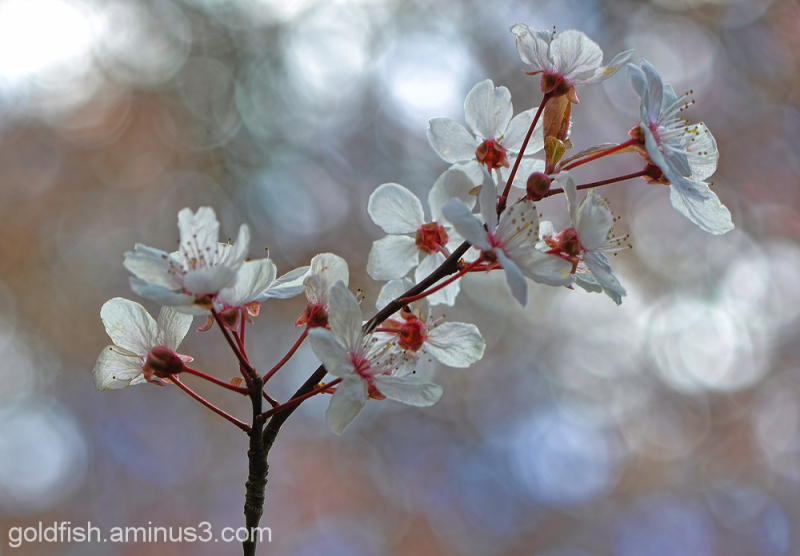 Blenheim Blossom 2/8