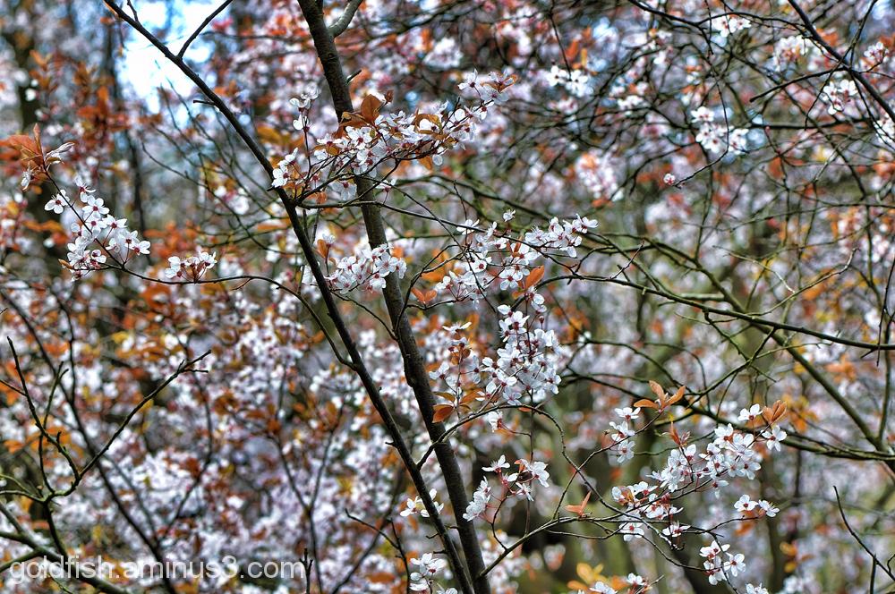 Blenheim Blossom 3/8