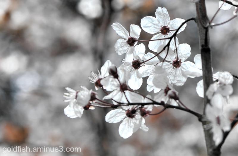 Blenheim Blossom 5/8