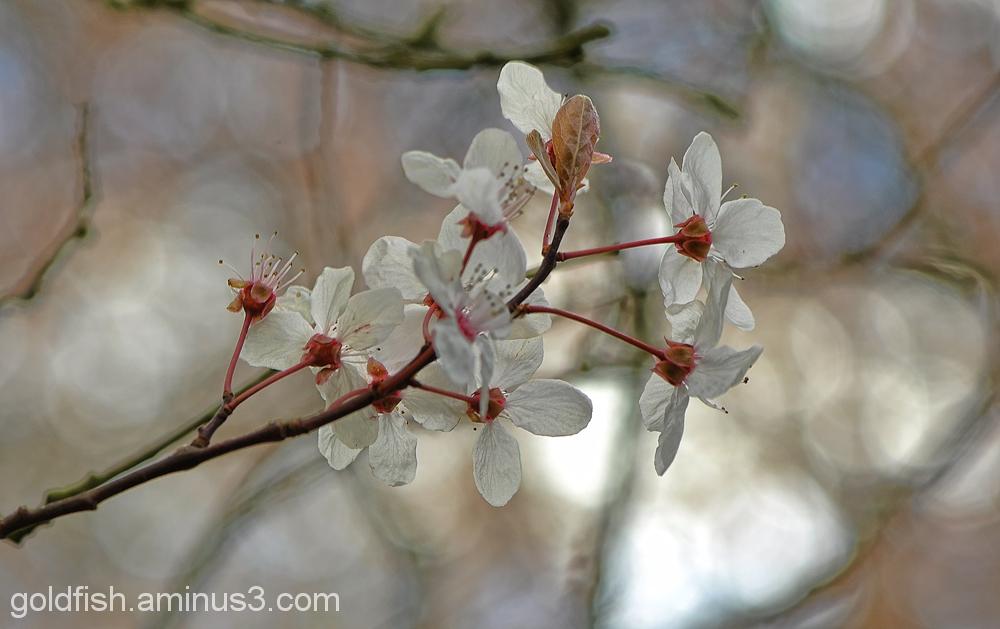 Blenheim Blossom 6/8