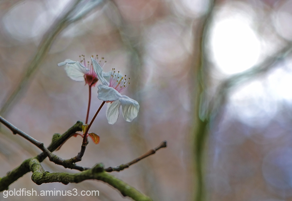 Blenheim Blossom 7/8