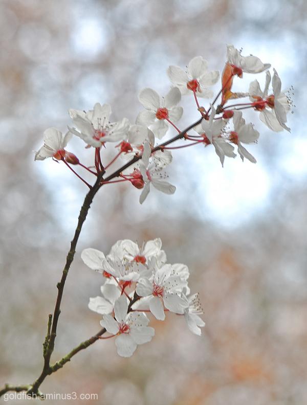 Blenheim Blossom 8/8