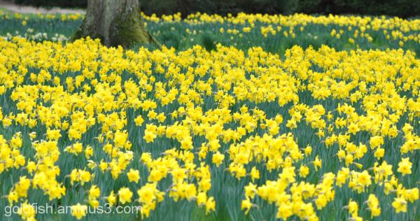 Daffodils 2/4