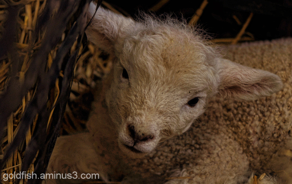 Earth Trust Lambing Weekend 1/8