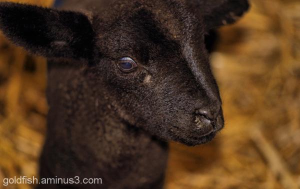 Earth Trust Lambing Weekend 2/8