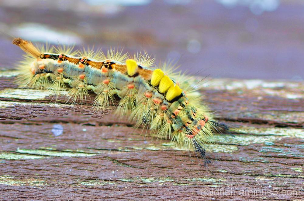 Vapourer Moth - Orgyia Antiqua 1/3
