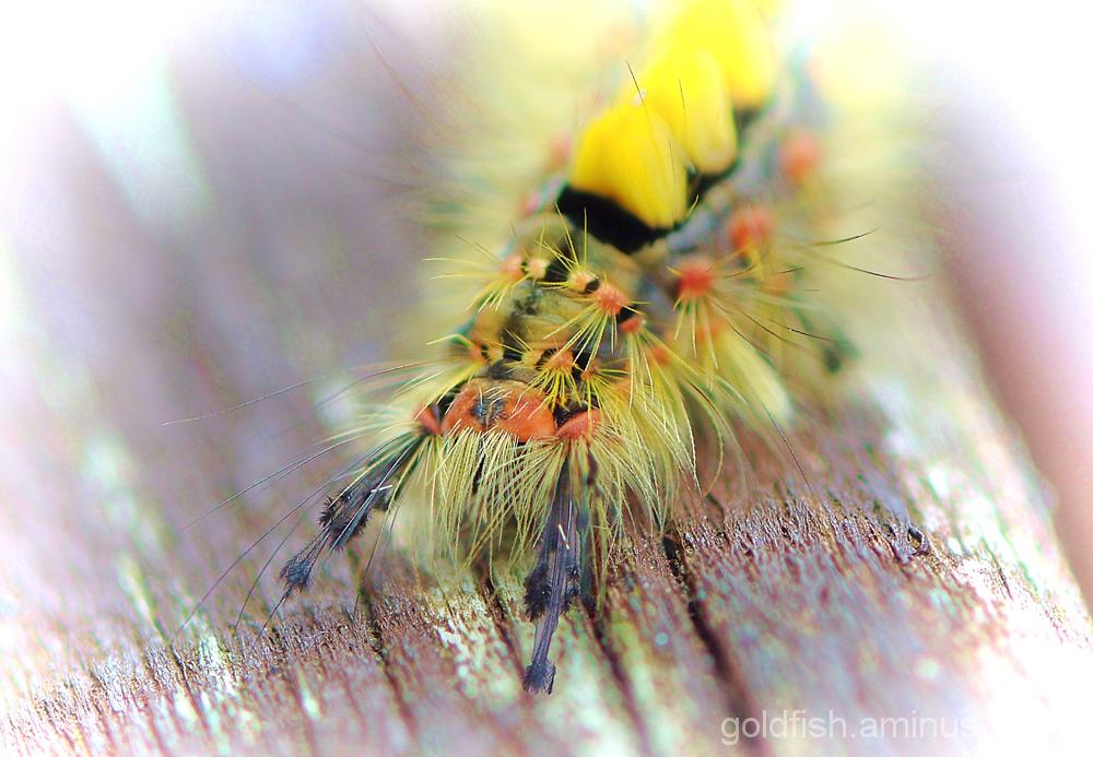 Vapourer Moth - Orgyia Antiqua 2/3