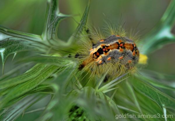 Vapourer Moth - Orgyia Antiqua 3/3