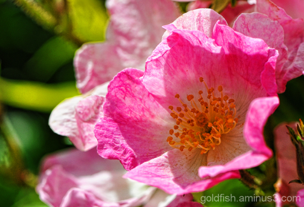 Dog Rose - Rosa Canina 2/2