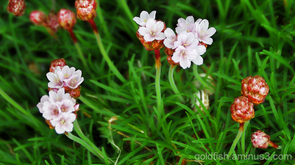 Sea Thrift - Armeria Maritima 2/2