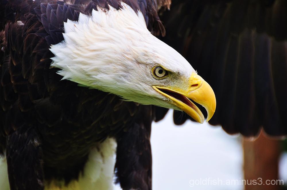Bald Eagle - Haliaeetus Leucocephalus 1/3