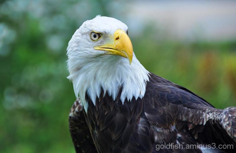 Bald Eagle - Haliaeetus Leucocephalus 2/3