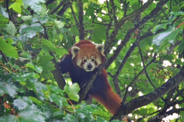The Red Panda - Ailurus Fulgens 2/3