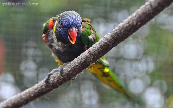 Rainbow Lorikeet - Trichoglossus Haematodus 1/3