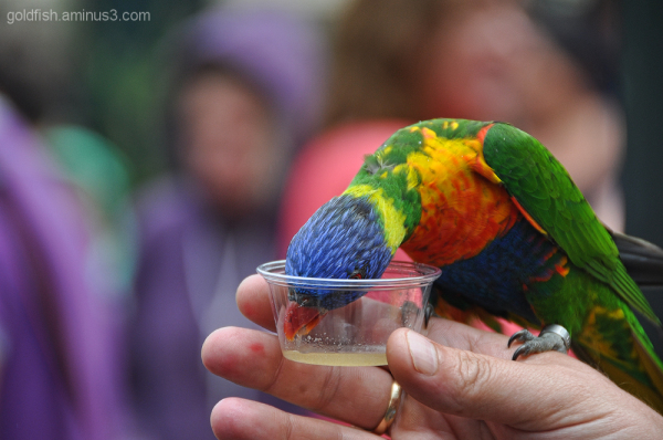 Rainbow Lorikeet - Trichoglossus Haematodus 2/3
