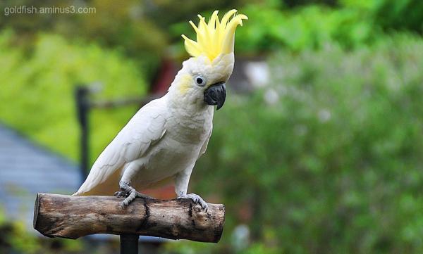 The Yellow-Crested Cockatoo - Cacatua Sulphurea