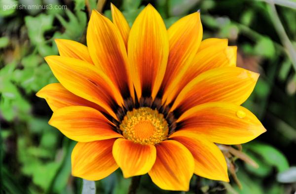 African Daisy - Osteospermum