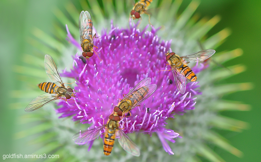 Hoverfly - Syrphidae 2/2