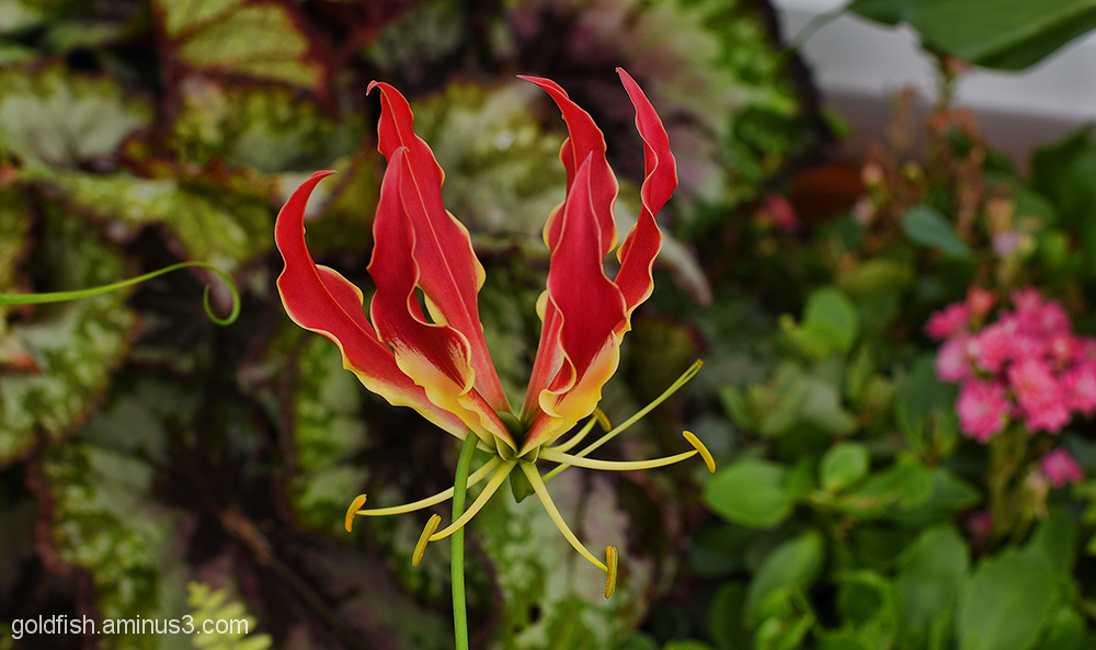 Flame Lily - Gloriosa 2/2